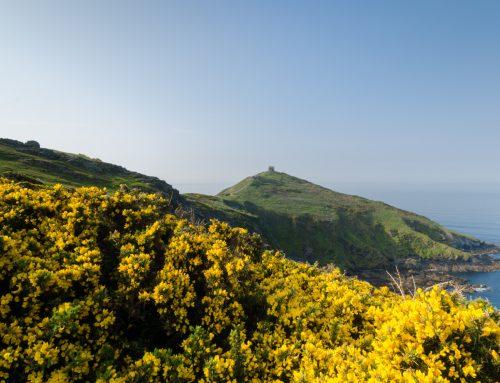 La fleur d'Ajonc, le coeur d'or breton